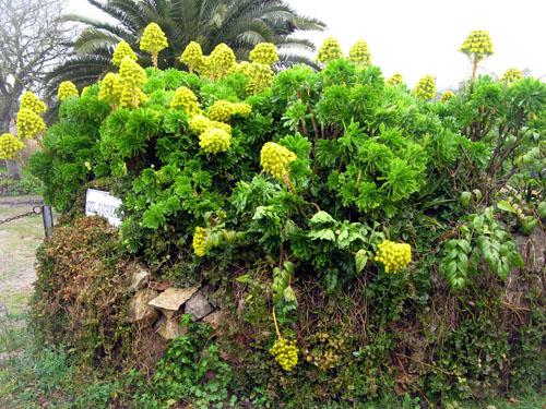 aeonium-aeonium-holochrysum.jpg