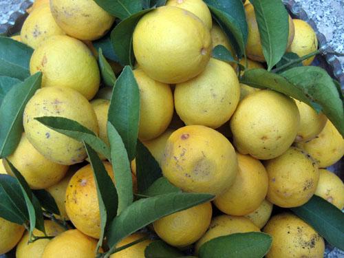 citrus_aurantifolia.jpg