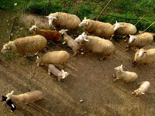 spring_lambs.jpg