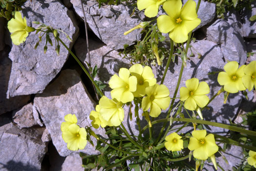 buttercup_oxalis