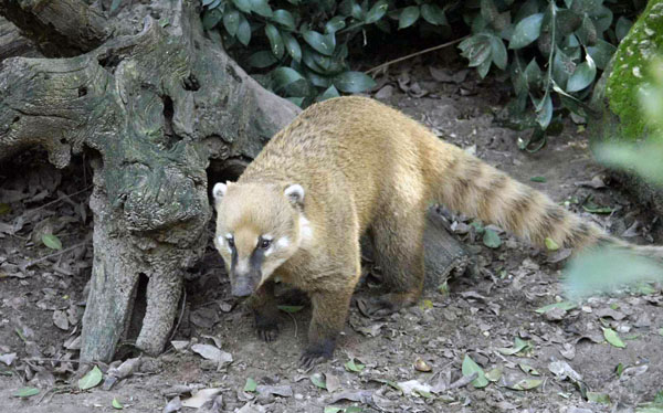 In Pursuit Of The Coati – The Mallorca Photo Blog